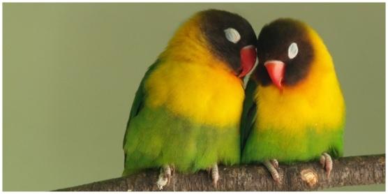 lovebird-vemale-com